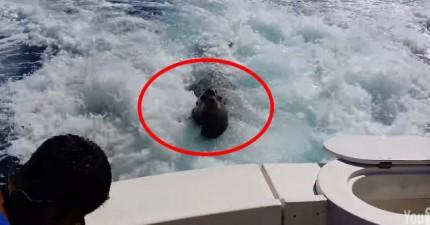 沒看到的話我還真的不會相信海獅可以游這麼快。他追船的原因簡直太可愛了!