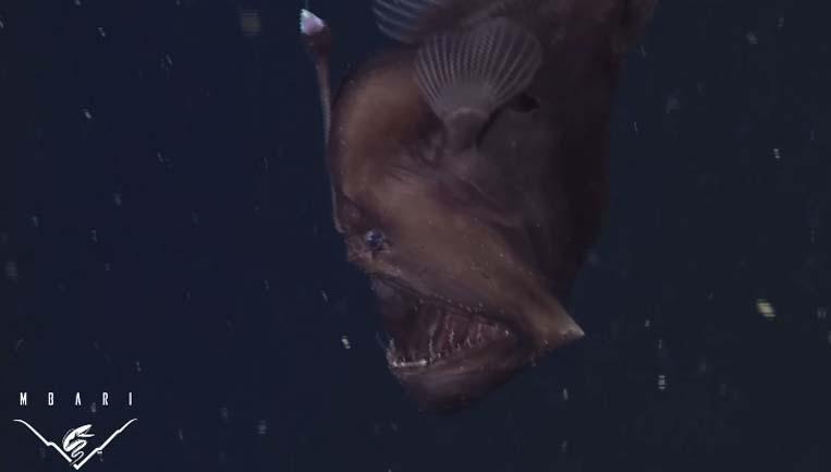 科學家在海底峽谷第一次捕捉到罕見且行蹤不定的-黑色深海魔鬼。