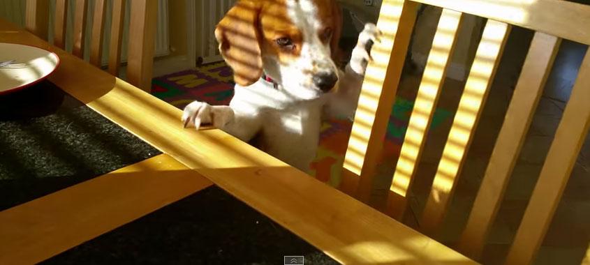 小獵犬看到餐桌上的早餐很想要吃,因此他拿了他最愛的東西來交換。