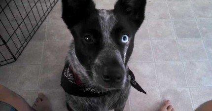 所有狗狗會做的特技都沒有這隻雙眼不同顏色的狗狗會做的還要酷。