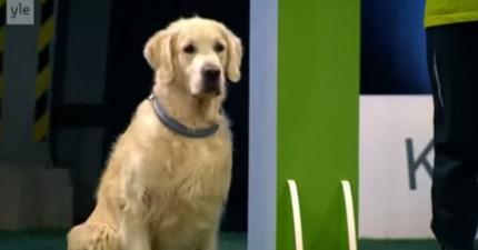 這隻黃金獵犬是真的很想要好好地比賽,但是他接下來讓你對他失望透頂!