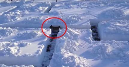 他們製作了一個雪迷宮,想要讓家裡的狗狗迷路。沒想到,聰明的狗狗完全破解了他們的陰謀。