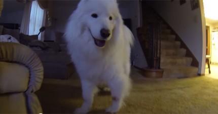 這隻薩摩耶犬身上的毛被梳掉後,留下來的東西會讓你大吃一驚。