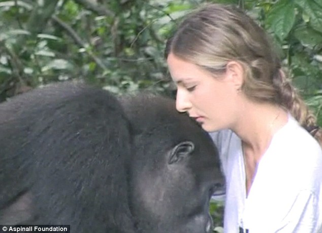 這對父女在炎熱的熱帶雨林中找尋了數個小時,然後他們在叢林中看到了兩個熟悉的面孔,疑惑地看著他們。這對雄性大猩猩,即便有好多年沒有看到人類了,但還是上前熱情地擁抱了這對父女。