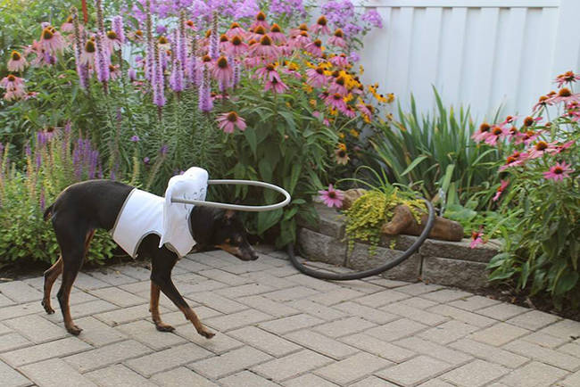 Today, Bordeaux hopes to see the device in dog shelters, where it will help blind dogs get adopted.