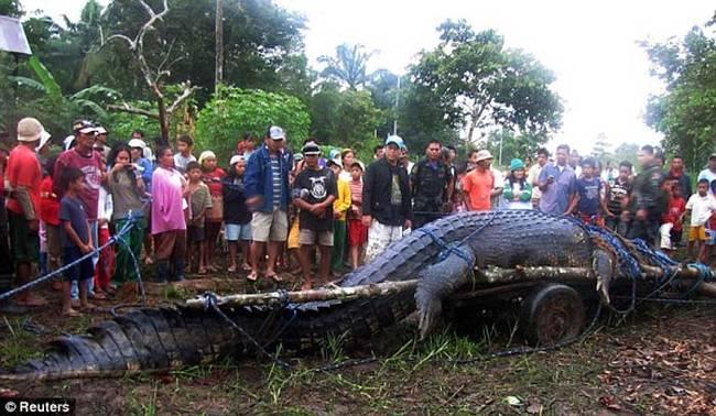 在2011年,在菲律宾马尼拉 (Manilla) 南方的一个小镇,居民们抓到了一只世界上最大、活生生的鳄鱼。
