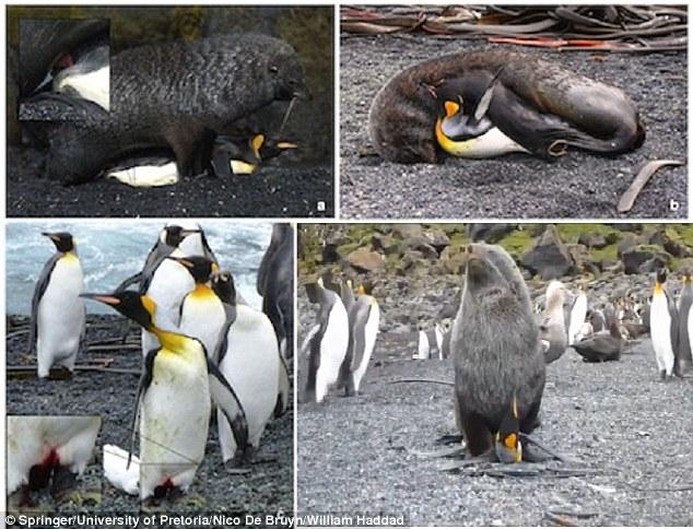 這件轟動全國的動物界性侵案讓動物學家都很迷惑。龐大的海豹為什麼要性侵國王企鵝?!