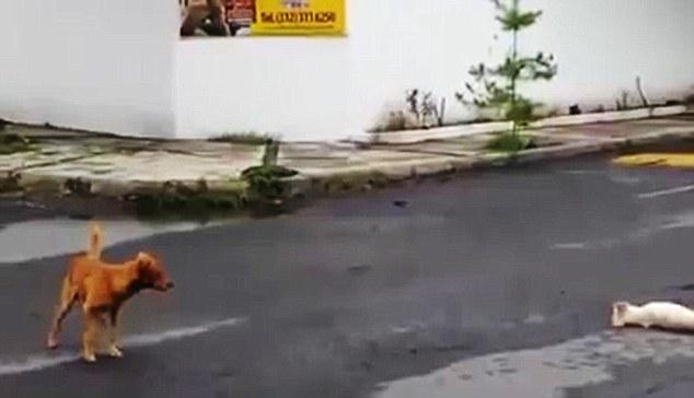 狗狗親眼目睹同伴車禍身亡,接下來的事證明他們比人類還要重情義。