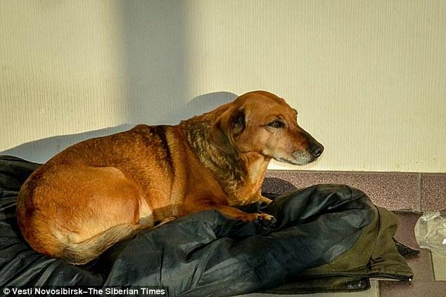 Masha外型看起來是一隻臘腸狗,而她在主人在近兩年前過世的那天起,就每天來到醫院,等待再看到她的主人。