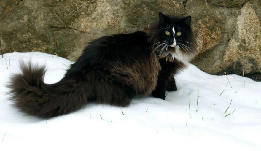 挪威森林貓  (Norwegian Cat)