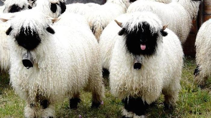 黑鼻羊  (Valais Sheep)