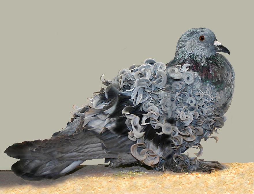 卷毛鴿  (Pigeon With Curls)