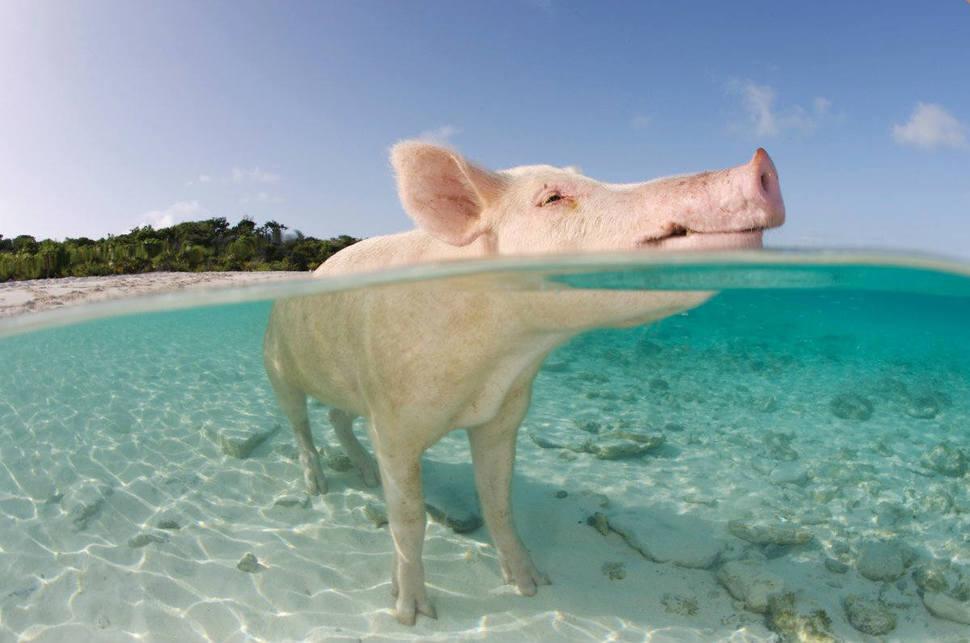 巴哈馬 豬海灘 Pig Beach in the Bahamas