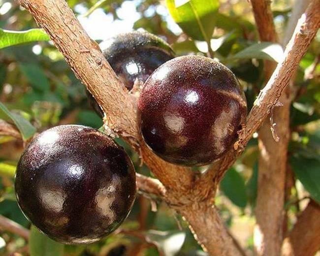 嘉寶果(又稱擬愛樹木 Jabuticaba) 樹原產於南美的巴西南部、靠近城市聖保羅的地區。