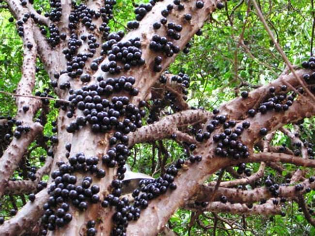 嘉寶果奇特的結果特性與果實風味,很可能誘使農夫持續的種植。