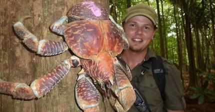 這種寄居蟹不只會爬樹吃椰子,而且體型巨大到會把你嚇得不敢出門!