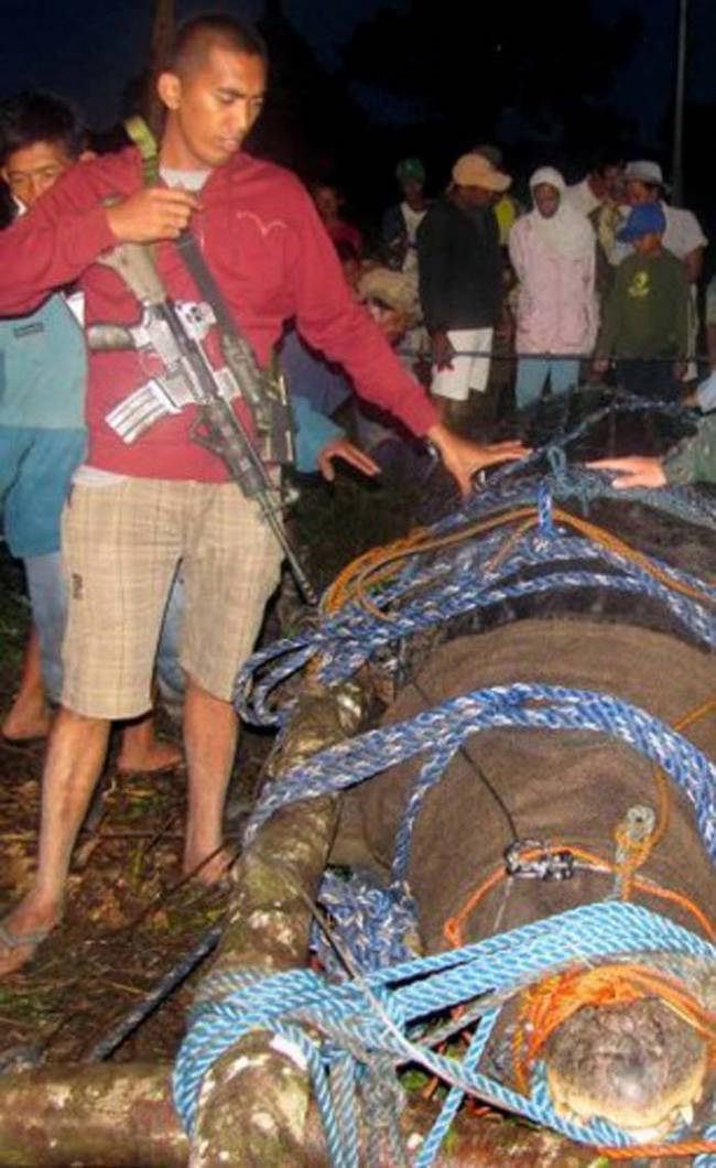 这只鳄鱼有6.4公尺长、1075公斤重,已经称霸这个地区有好几年的时间了。在他杀害了当地的渔夫、也有一些农场的动物消失后,当地的人们组成了100人的小队,终于才抓到了这只巨兽。