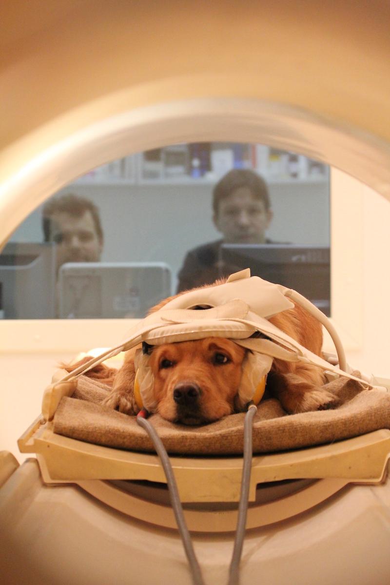 狗狗真的有那麼愛我們嗎?科學家掃描大腦揭開狗狗對人類的真正看法。