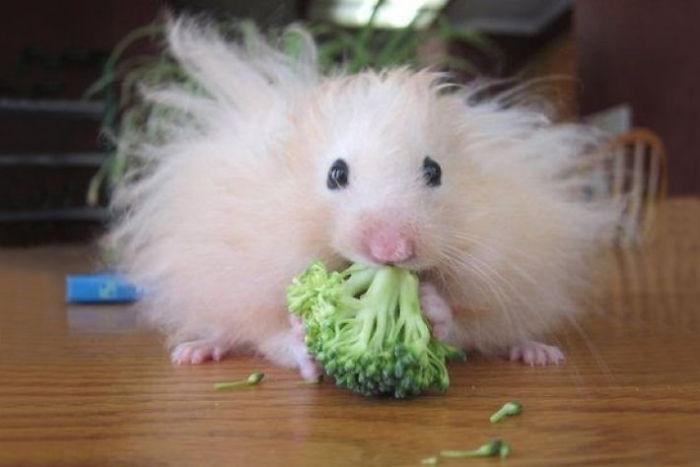 毛茸茸倉鼠吃花椰菜!(Fluffy Hamster Eating A Broccoli)