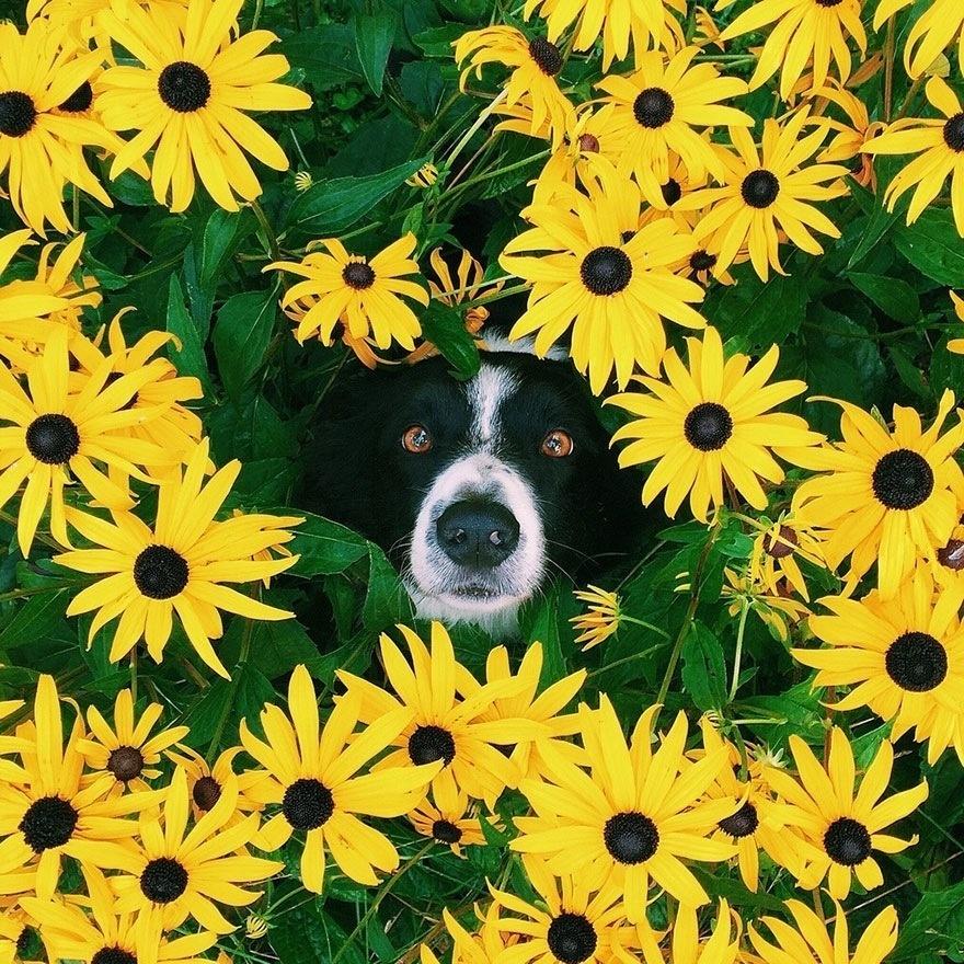我們要向大家介紹一隻可愛的邊境牧羊犬,他的名字叫momo。他喜歡的遊戲和其他小狗不太一樣,他不愛玩你丟我撿,他愛玩躲貓貓,而且他還很厲害! 他的攝影師主人Andrew Knapp幫他拍了一系列的照片,並且發表於自己的部落格