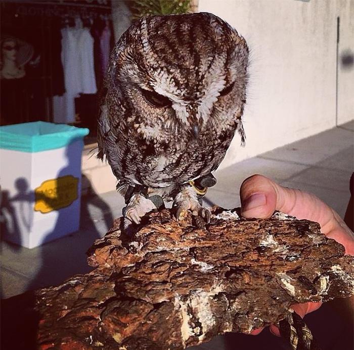 這隻小貓頭鷹雖然失明,但那卻把他的雙眼變成最美麗的星空。
