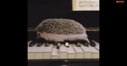 小刺蝟琴鍵上跑步 彈出的鋼琴聲讓許多人耳朵都懷孕了!