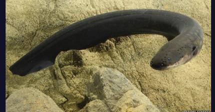 科學家發現,電鰻居然可以利用「電」控制他們的獵物!
