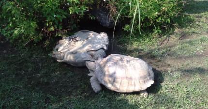 動物園裡的一隻烏龜為另一隻烏龜做的事情教了全世界最寶貴的一課。