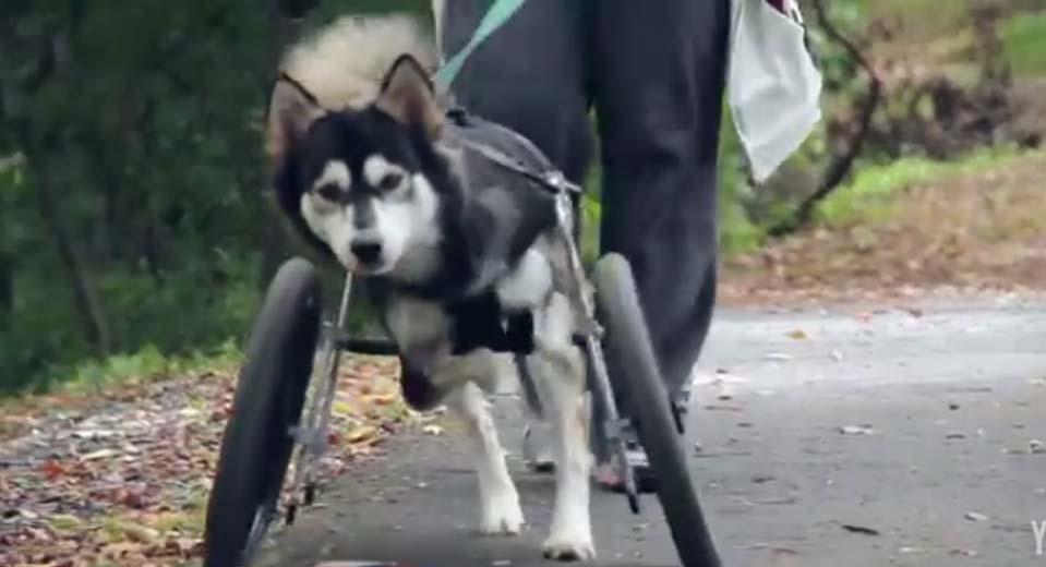 這隻狗狗天生就前腳殘疾,但3D列印技術改變了他的一生!
