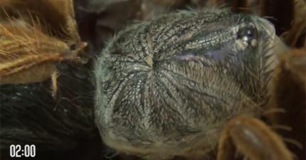 我根本就不知道毒蛛會蛻皮!罕見脫皮畫面,會讓你更加害怕蜘蛛...