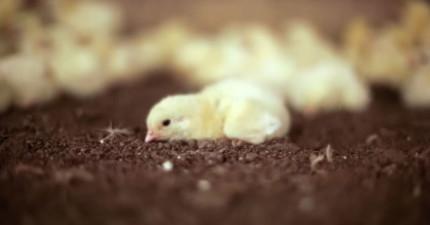 你知道你桌上的雞肉是怎麼來的嗎?