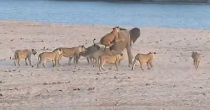 這頭小象被14隻獅子追殺...然後居然還神奇地打贏了!