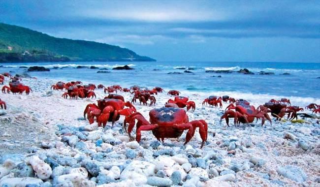 當螃蟹們終於到達海邊時,他們就只有一個任務:交配。