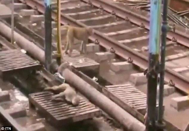 看到同伴被電暈在鐵軌上,這隻猴子居然對他做出專業的急救措施!