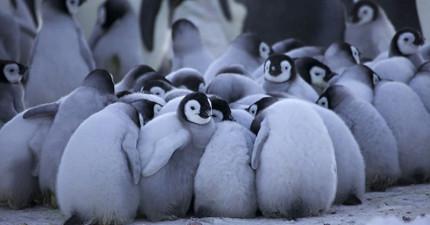 國王企鵝在極地寒風中為了幫子女取暖,做的事情真的太有趣可愛了!
