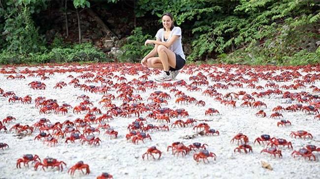 從雨林遷徙到海邊的這趟旅程大概會需要一個禮拜,一到了海邊,螃蟹們就會開始交配。在交配完畢後,母蟹會懷著卵在海邊再待兩週。在12月18日到19日,她們會產卵,然後卵會由退潮被帶入海中。然後她們又會再回到雨林中,與公蟹團聚。