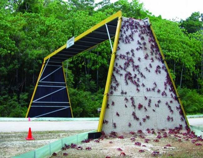 They even install special crab bridges in some places to make crossing certain areas safer for the crabs.