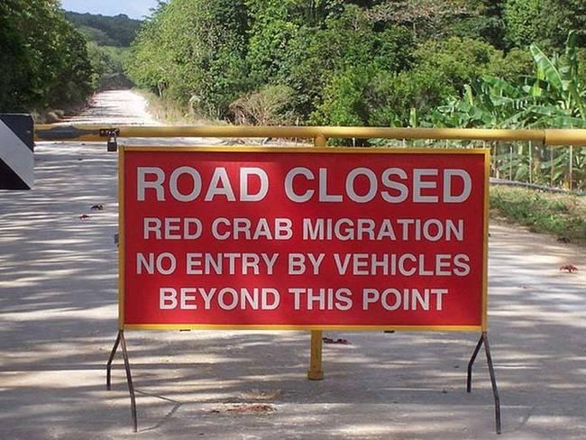 在這段期間,島嶼幾乎要被紅蟹所覆蓋了。官方也必須要關閉許多道路,來配合他們的遷徙。