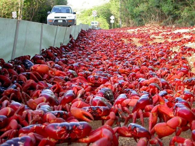 聖誕島紅蟹一般來說會棲息在雨林,但他們會再這段期間,從聖誕島的雨林遷徙到海邊。