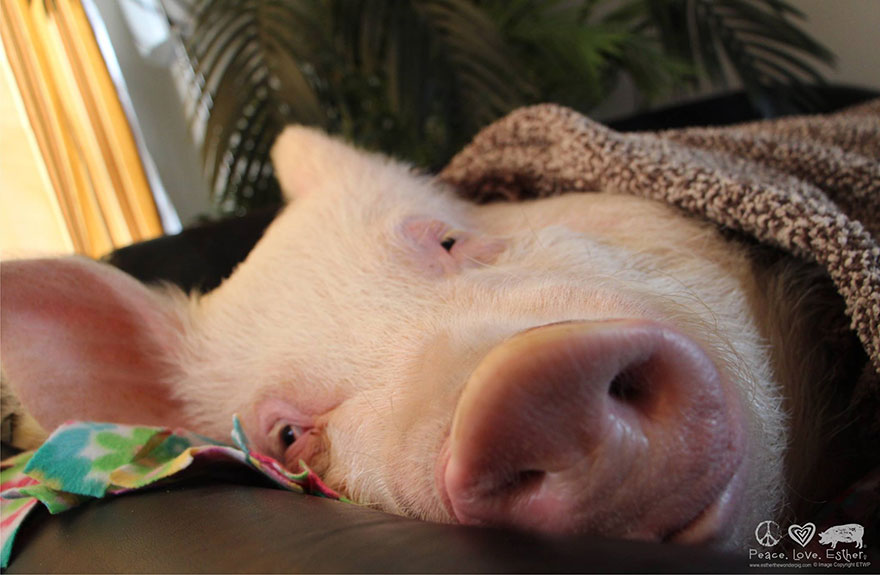 這家人以為他們買了一隻超可愛的迷你豬,2年後他們才發現到錯得離譜。