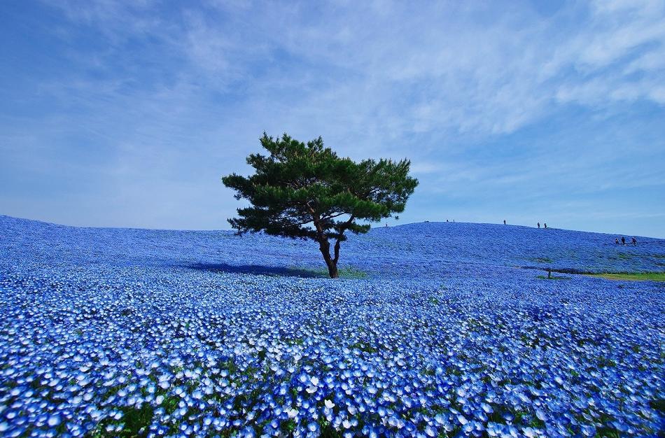 日本日立市濱海公園(Hitachi Seaside Park)
