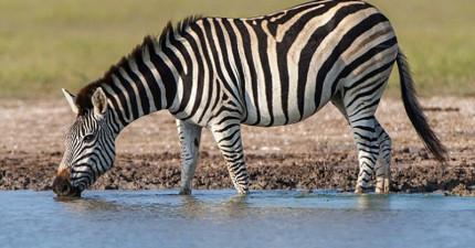 研究指出:斑馬的斑紋不是要對抗獅子或蚊蟲,而是為了更「高科技」的功效。