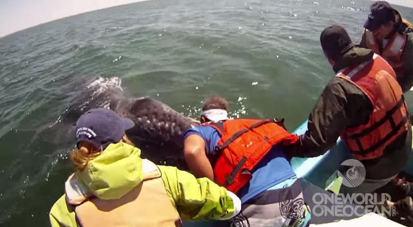 這群人在海裡遇到一頭大灰鯨和她孩子後發生的事情,就是鯨魚超高智慧的證據!