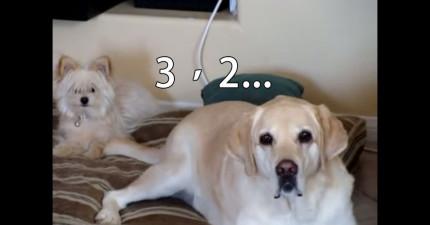 千萬不要讓前面這隻狗狗太興奮,因為他的尾巴會狠狠修理躺在後面的小狗。