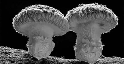 如果把香菇長大的過程加速,畫面就會像爆炸場面般震撼!