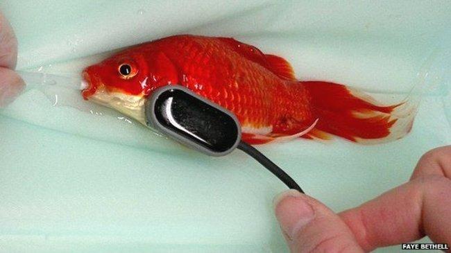 心愛的金魚「便秘了」,心疼的主人竟然花如此重金替他動手術!
