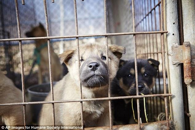 這些狗狗很可愛對吧?但你不會相信他們是被養來做什麼的。