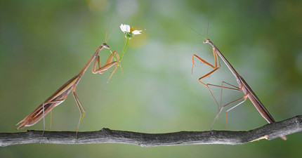 想不到螳螂求偶時的浪漫場合竟然比人類的還要唯美!