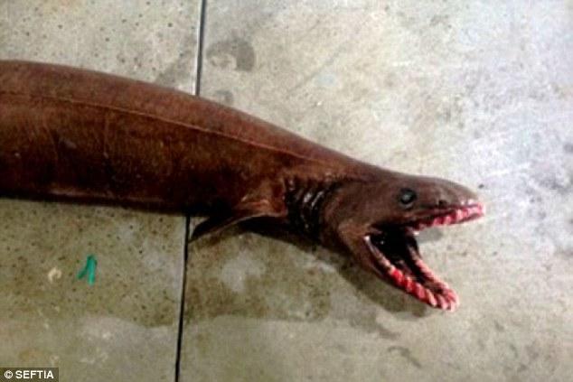 超驚悚!澳洲漁民意外捕獲這頭25排300顆牙的深海白垩纪時代巨獸。
