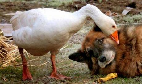 """19.) This formerly aggressive pup whose life was saved by <a href=""""http://www.viralnova.com/dog-and-goose/"""" target=""""_blank"""">the love of a goose</a>."""